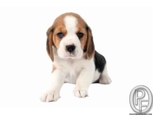 Beagle Puppies In Mumbai Maharashtra India In Pet Animals And
