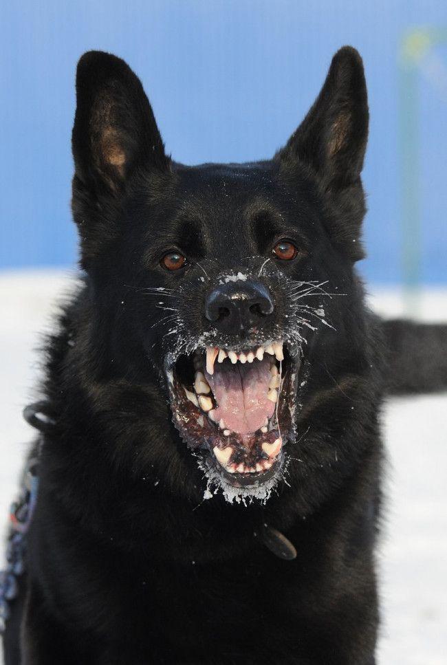 Best 25+ Black german shepherds ideas on Pinterest Black King Shepherd Puppies