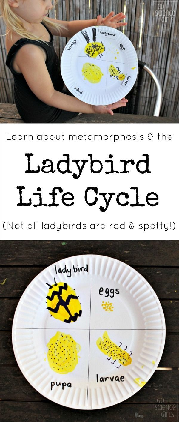 Ladybird life cycle craft - learn about metamorphosis, and that not all ladybugs are red and spotty!