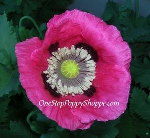 Papaver Somniferum Poppy Seeds Hot Pink