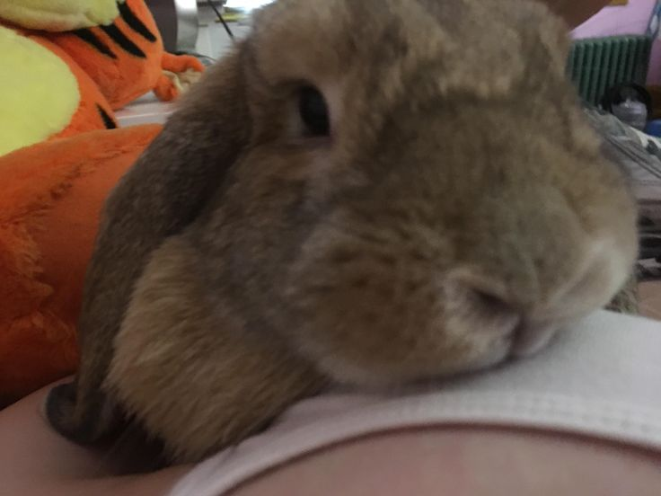 This is my little squish; Harley. Last week I brought her into the emergency vet when she wasn't eating and they discovered a large hernia that probably arose from her surgery to get spayed. She's having it removed today and I'm so worried about my baby bun! Please keep her in your thoughts!