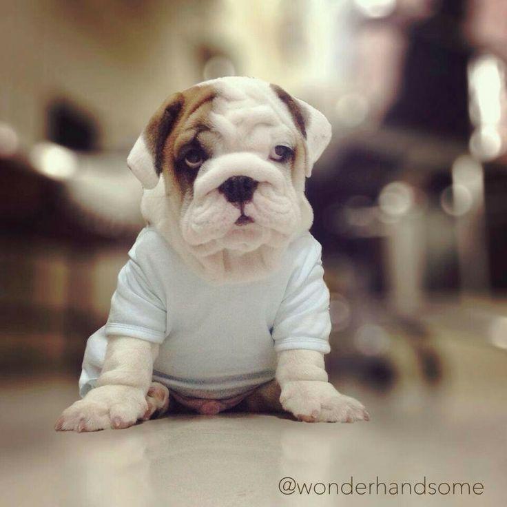 25 b sta victorian bulldog id erna p pinterest engelsk bulldog valpar engelska bulldogs och. Black Bedroom Furniture Sets. Home Design Ideas