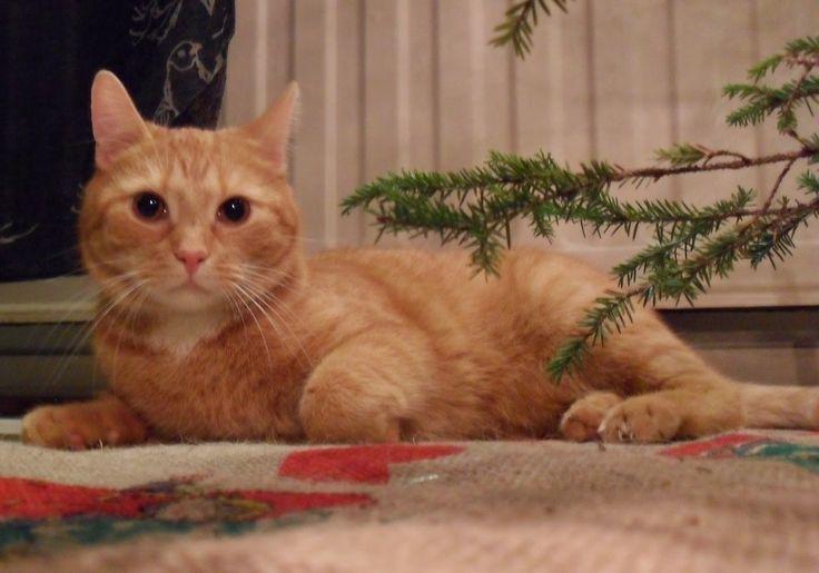 Big brother's cat Sulo