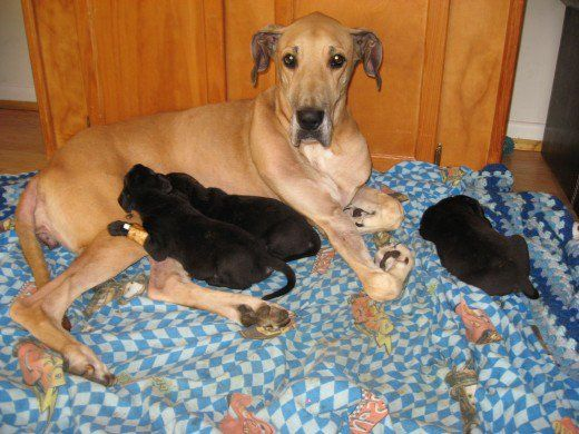 Even with Megaesophagus, Kayla is putting on weight AND caring for her Great Dane puppies.