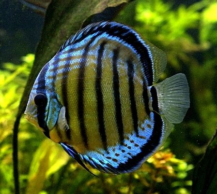 Freshwater Gallery - Poseidon Aquatics - Tropical Fish Wholesale Distribution - Gardena, California