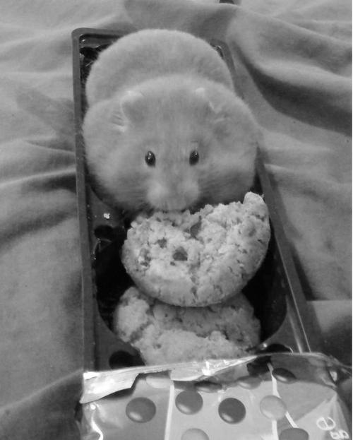 cute hamster eating cookies
