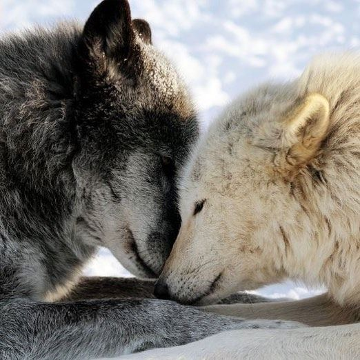 Compassion For Each Other: I Love The Compassion Wolves Have For Each Other