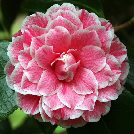 50 Rare Camellia Japonica Herme Flower Seeds Pink White Perennial Gorgeous Beautiful Color Home