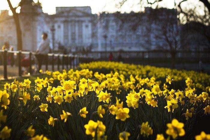 Narcisse fond d'écran jolie fond ecran fleur printemps narcisses street view