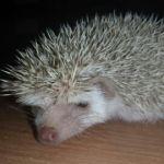 Dark-eyed-cinnicot pygmy hedgehog