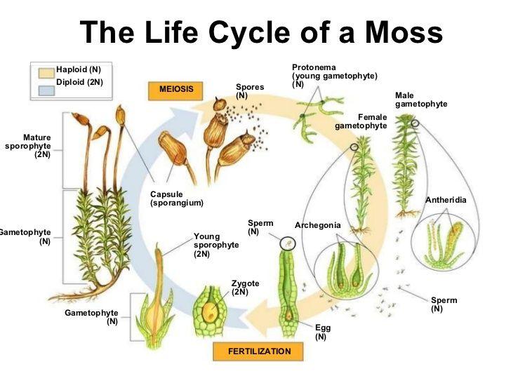 Moss life cycle worksheet