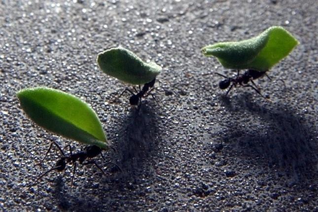 Las colonias de hormigas funcionan igual que Internet, según un estudio - lanacion.com