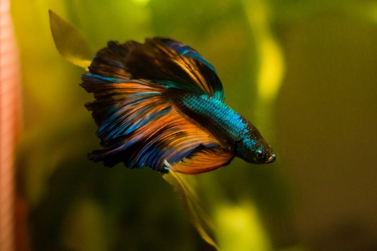 Genie 39 s colours by on for Betta fish colors