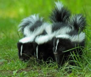 Baby Skunk Trio - Getty - Moment/Bill McMullen; just in case, since this almost happened the other night!