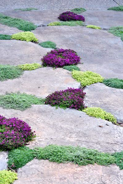 "Wooly thyme, creeping thyme, ""little prince"" thyme, and elfin thyme. To use at front of wall beds, will creep over the slate edges of the terrace"