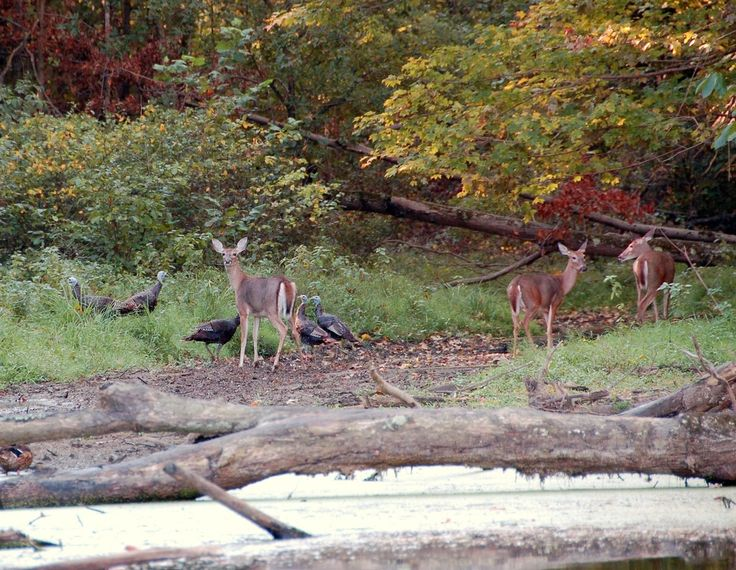 235 Best Animals In The Smoky Mountains Images On
