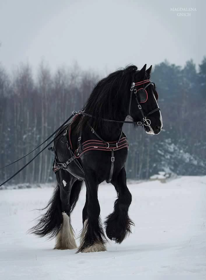 shire stallion                                                                                                                                                      More