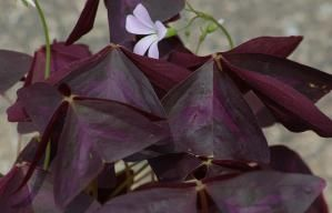 "Purple Shamrock Plants or Black Oxalis: The black <i>Oxalis</i> plant in this picture shows what ""Velvet"" looks like. It's part of the Charmed Series of shamrocks."