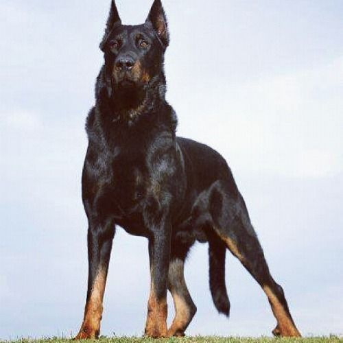 The pose this mighty Beauceron is holding is inspiring me to draw.