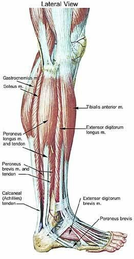 lower leg muscle chart | Leg Muscle Anatomy