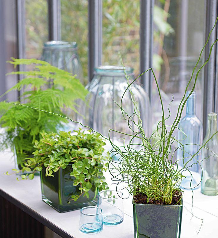 Asparagus plumosus peperomia rotundifolia juncus for Acheter plante interieur