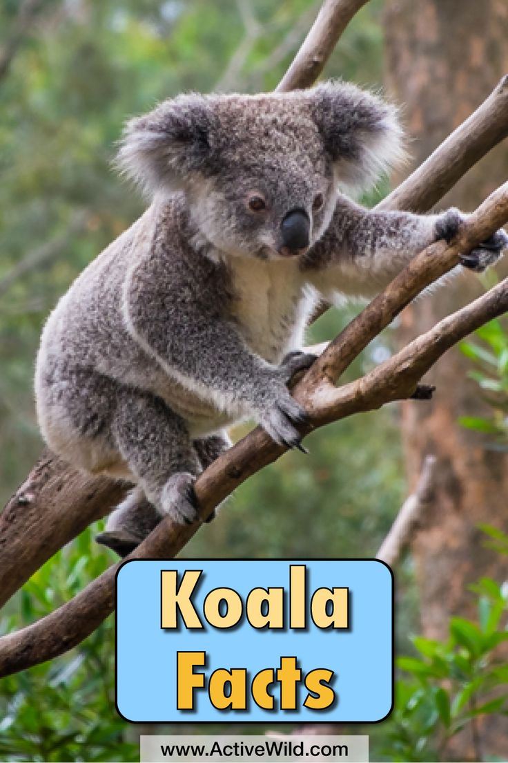 Koala Facts For Kids: Information, Pictures, Video & More