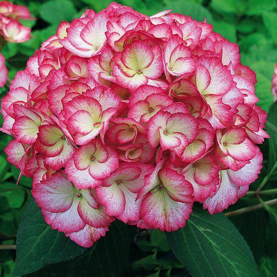 ber ideen zu hortensien kaufen auf pinterest hortensien ph werte und online shops. Black Bedroom Furniture Sets. Home Design Ideas