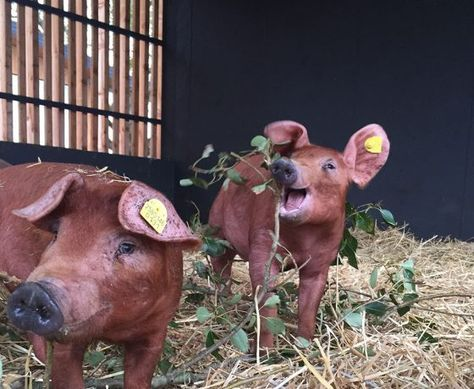 Tierlexikon Teil I – Das Duroc-Schwein