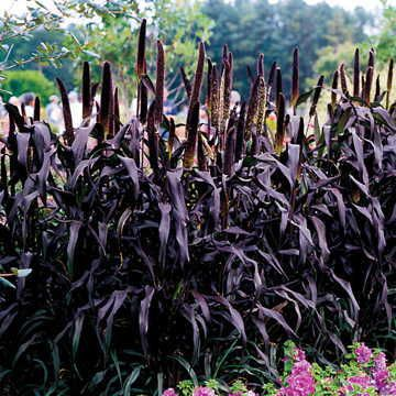 Purple Majesty Hybrid Ornamental Millet Seeds Seeds Per Pack: 15 Plant Height: 4 ft - 5 ft Bloom Size: 12 in - 14 in