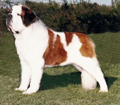 Saint Bernard: St Bernards, Saintbernards, Dogs Breeds, Pets, Saint Bernards, Guard Dogs, Dogs Pictures, Big Dogs, Animal