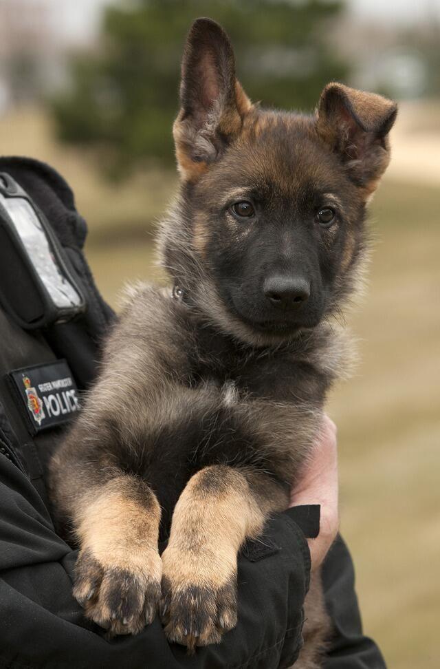 Apprentice Police Dog hopefully they won't kill him like the