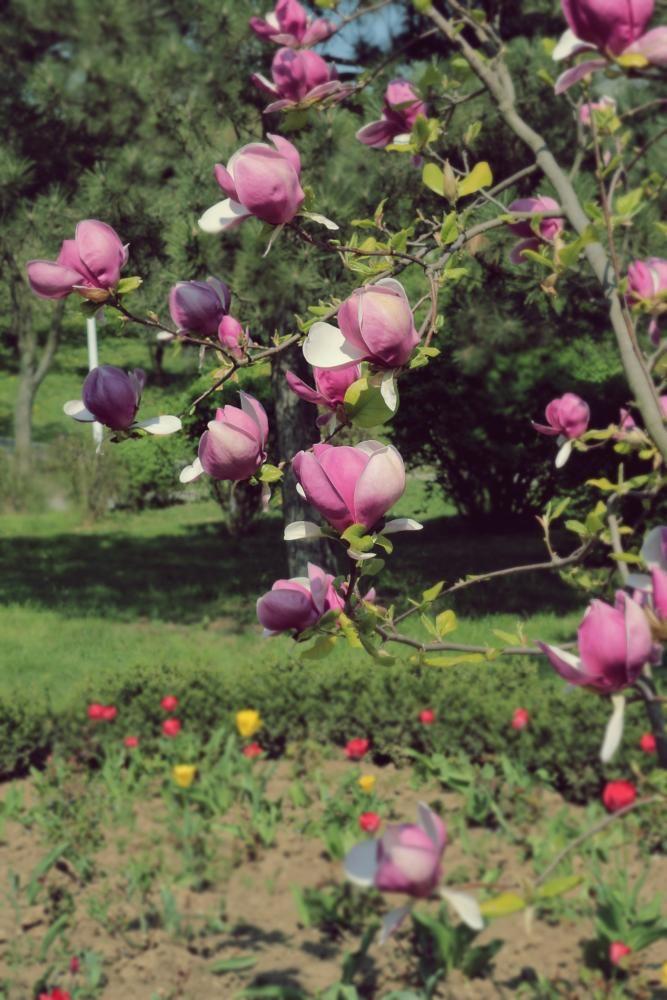 magnolia tree by mircea.fotograf.az