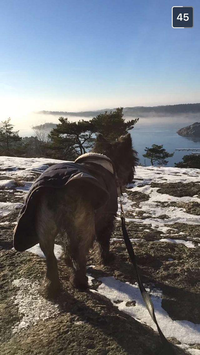 Cairn terrier - Morty - Fredrikstad