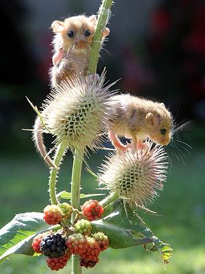 Adorable, orphaned baby dormice climb a blackberry bush for breakfast at a UK wildlife rescue.