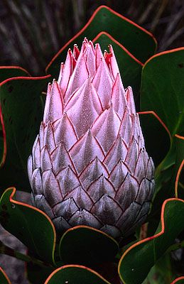 Protea - South Africa. BelAfrique your personal travel planner - www.BelAfrique.com