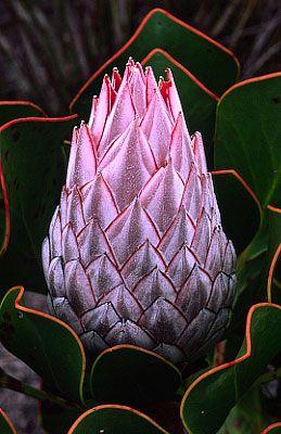 Protea - South Africa. BelAfrique your personal travel planner - www.BelAfrique.com