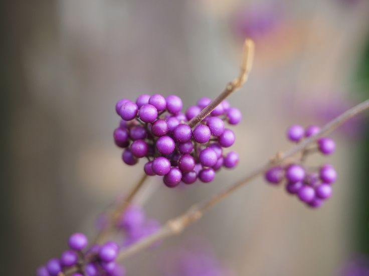 Sono davvero fuori dal comune le bacche violacee della Callicarpa #piante #giardino #inverno