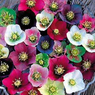 Lenten Rose - A shade-loving perennial that blooms from winter to spring in shades of red, green, near-black, white, and pink.