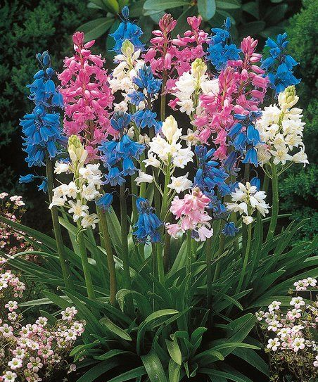 These beautiful hyacinth flowers require little maintenance to produce brilliant clusters of wondrous blooms year after year. Plant them in your garden or yard for a pop of vibrant color. Shipping note: This item will ship the week of September 19, 2016. Please refer to zone map for ideal planting locations. Cannot ship to Alaska or Hawaii.