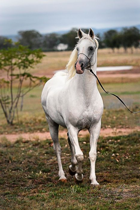 Retouching An Image - White Beauty - Digital cameras are simply a gift to amateur and professional photographers alike. I love to take images of horses but as anyone who has ever tried to...