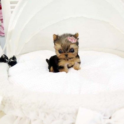 Tea Cup Yorkie cutie Cute Puppy Pictures Group