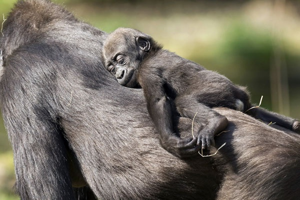 Sleeping beauty: Nap Time, Babies, Sweet, Mother, Creature, Baby Animals, Baby Gorilla, Mom, Monkey