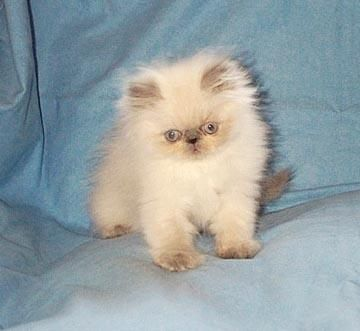 himalayan cat | Cute Himalyan Kitten For Sale for sale in Burnaby, British Columbia ...