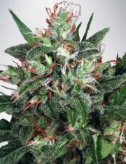 Buy Cannabis Seeds Online global seed bank and breeder of premium quality cannabis strains. Along with developing and distributing their own strains.
