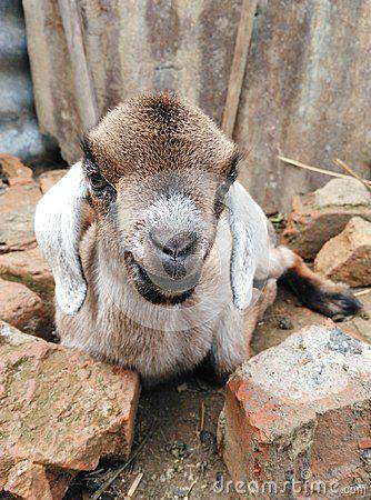 Smiling little goat sitting among bricks.