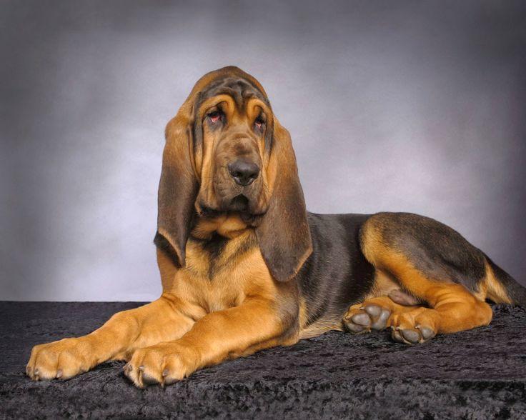 cão de Santo Humberto - Bloodhound