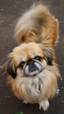 Our second dog was a pekingese. She had been given the name of 'Buzz Buzz' before she came to us and was quite a character. Cute as a button