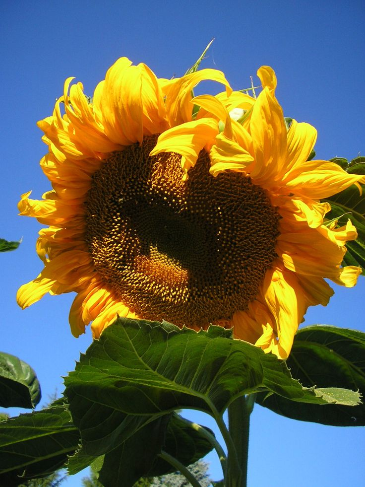 Mammoth Sunflower over 7 feet tall from seed from Nichols Garden Nursery in Albany Oregon