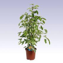 Tarkalevelű fikusz, Ficus 'Amstel king' 30 cm magas 14cs