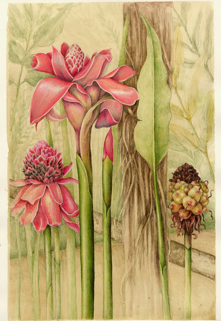 Torch Ginger. From the collection of botanical illustrations of flowers by Wendy Hollender.